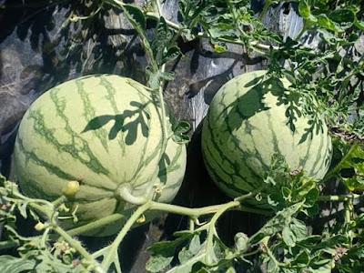 Tanaman buah semangka