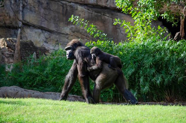 Familia gorilas Bioparc