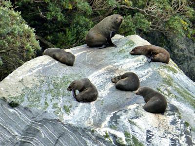 milford-sound-seals