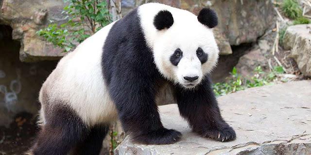 28 Fakta Menarik Tentang Panda Raksasa
