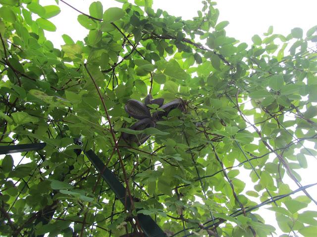 Frutti Akebia Maturi Appesi