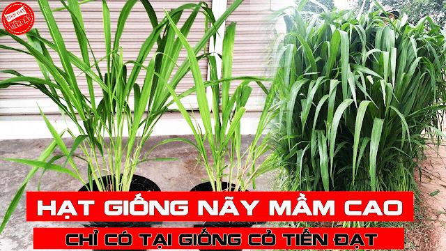 Những sai lầm khi trồng cỏ ghine