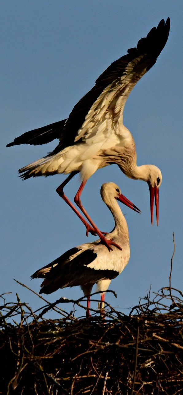 Stork's acrobatic balancing.