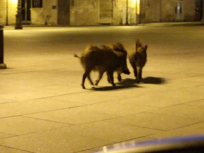 Ante el aislamiento social por coronavirus, venados, monos, ovejas y jabalíes toman las calles