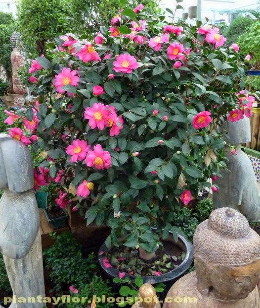 Plantas Y Flores Camellia Japonica - Camelia-cuidados