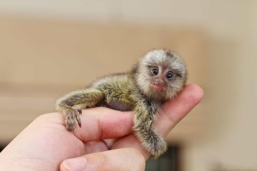 اصغر حيوانات في العالم,اصغر, اصغر حيوان في الارض,اصغر حيوان بري,اصغر قرد في العالم,ااصغر قرد,قرد قزم,قرد القزم مرموسيت,