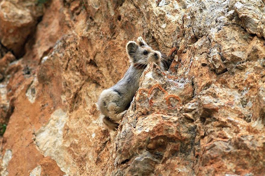 rare-endangered-animal-teddy-bear-magic-rabbit-ili-pika-china-3