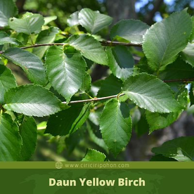 Ciri Ciri Daun Yellow Birch