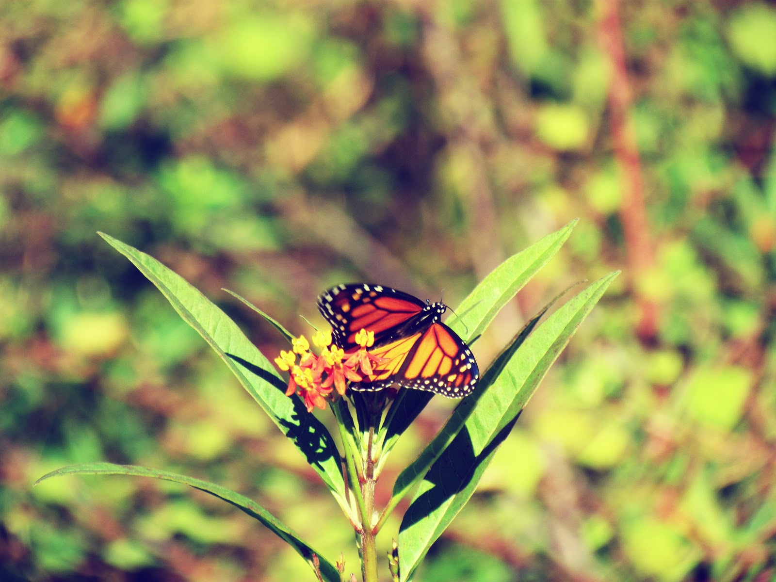 An orange and red winged butterfly creature pollinating flowers in the meadow