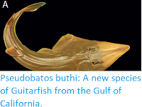 https://sciencythoughts.blogspot.com/2019/09/pseudobatos-buthi-new-species-of.html