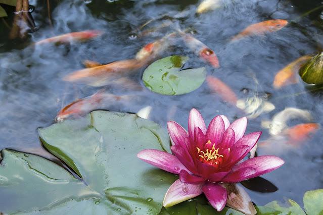 Mengapa Bunga Teratai untuk Kolam Koi?