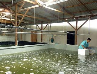 cara budidaya udang vaname supra intensif,semi intensif,super intensif,secara tradisional,dengan plastik mulsa,air tawar,artikel,di kolam terpal,