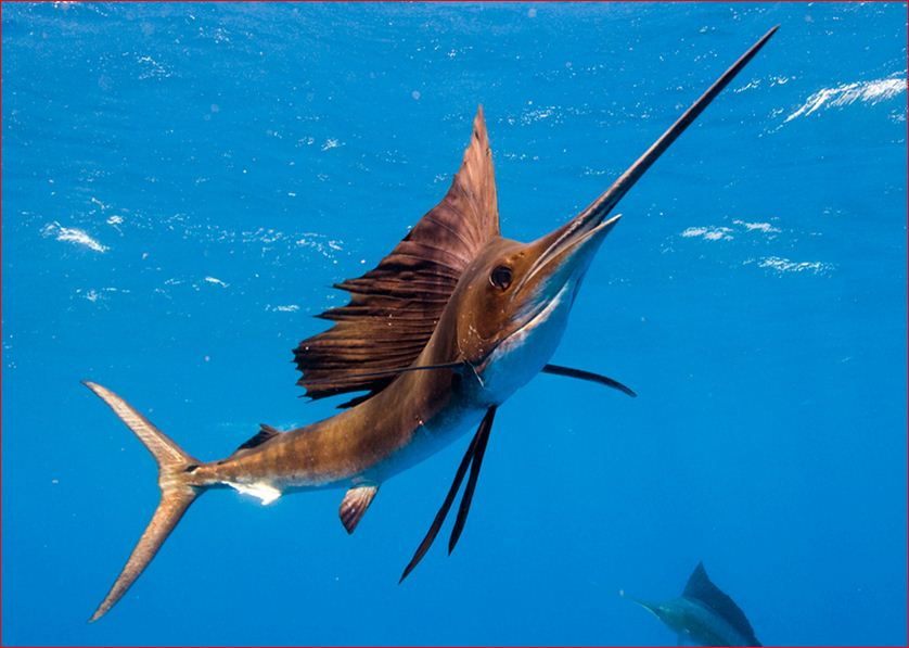 fish identification sailfish atlantic sailfish indo pacific sailfish