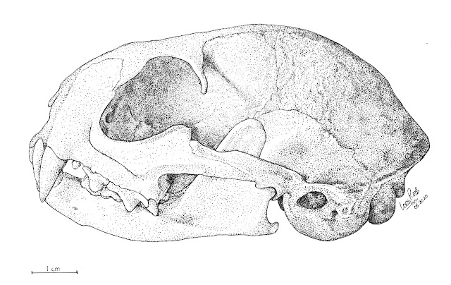 El craneo de Leopardus geoffroyi en punteado