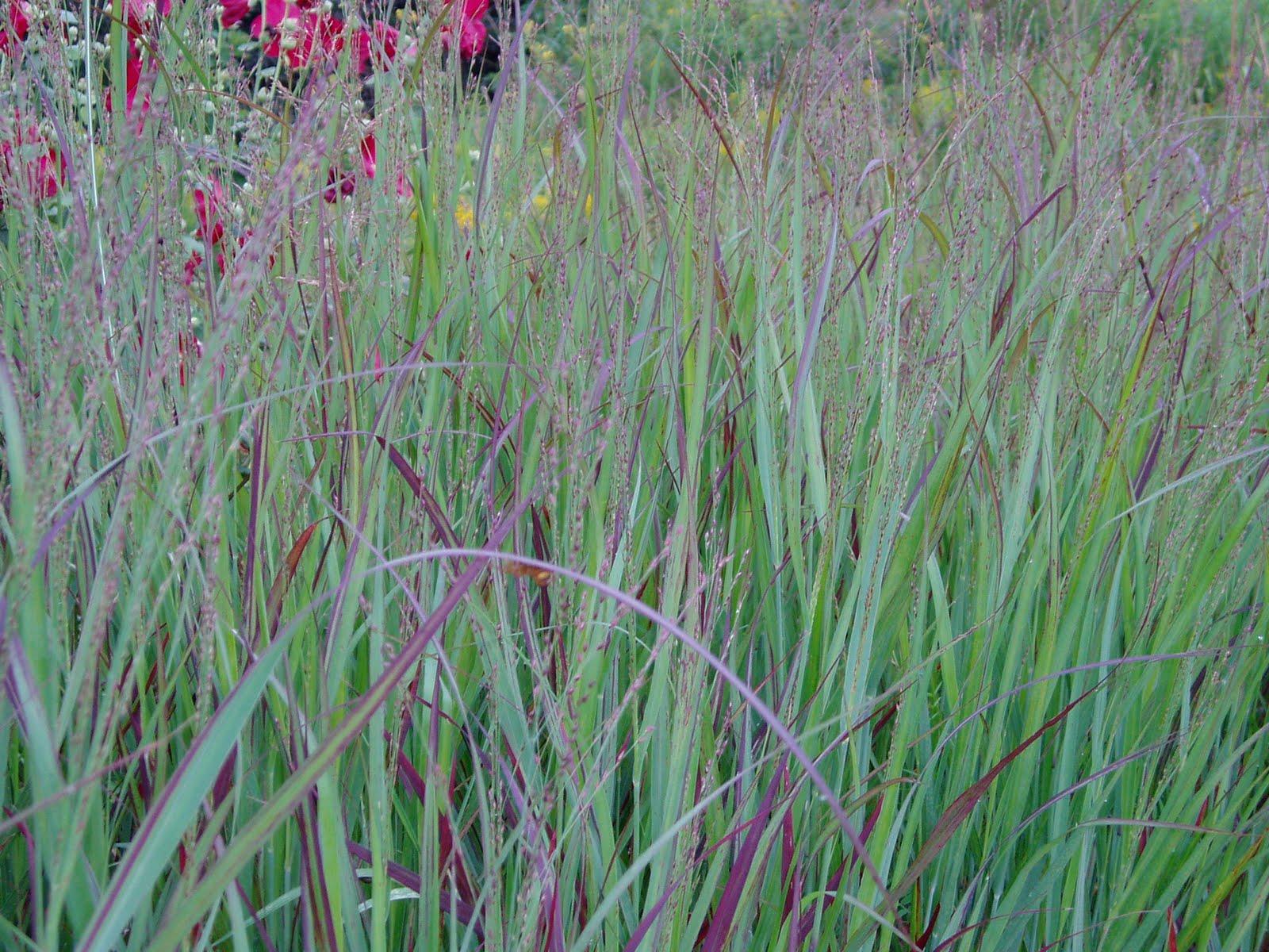 Shenandoah Red Switch Grass – Wilson Nurseries