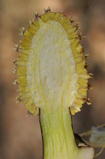 Symplocarpe fétide - Chou Puant - Symplocarpus foetidus
