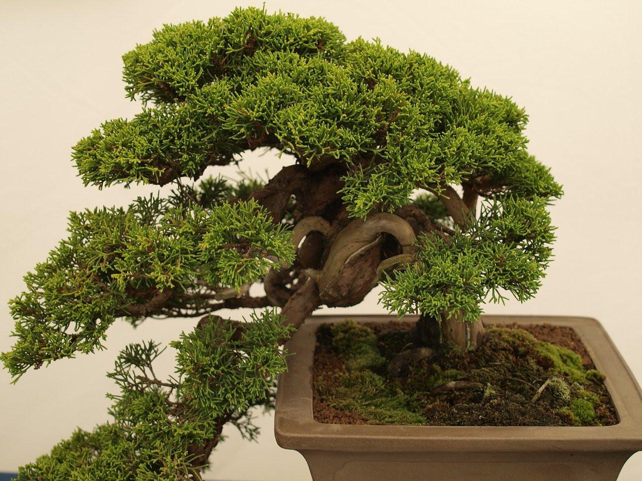 lumut-hijau-tanaman-bonsai.jpg