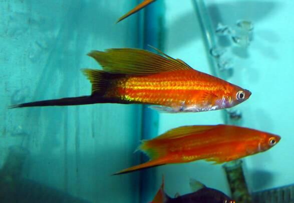 Sword tail fish