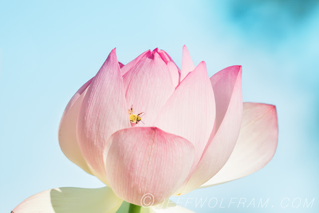 Lotus Flowers by Jeff Wolfram