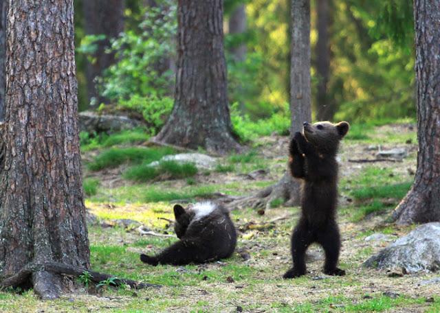 Homem flagra três ursos dançando no meio da floresta, pensou que era sua imaginação 2