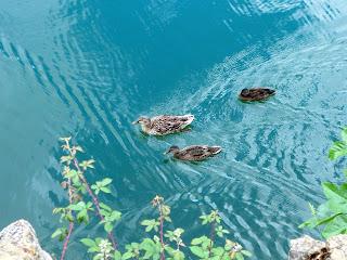 Patos nadando, Pozo Ostión, La Arboleda, Bizkaia