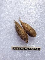 Sepasang Kepompong Tejo Lelana