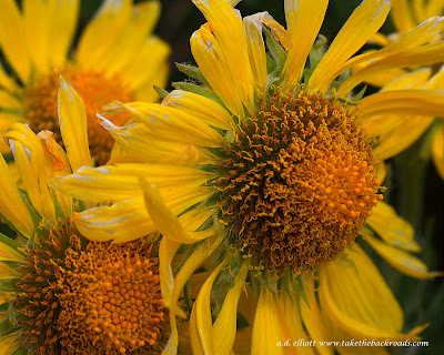 Macro photograph of alpine sunflowers and a blurb about the rainy season.