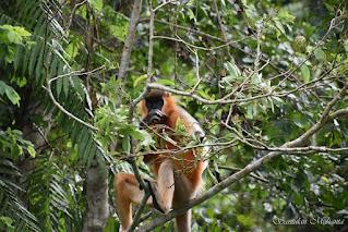 Capped Langur in Gibbon Wildlife Sanctuary of Assam