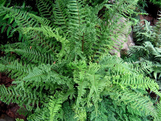 Dryopteris affinis 'Cristata' ( The King)