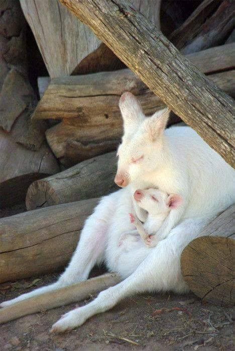 Kangaroo | A-Z List of 125 Rare Albino Animals [Pics]