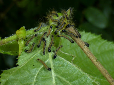 Malacosoma neustria caterpillar