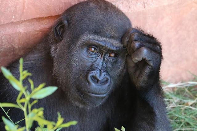 Gorilla, human, evolution, humanity