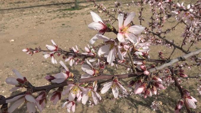 Prunus Dulcis Var. Marcona