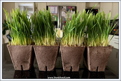 What's In The Box ©BionicBasil® My Cat Grass  - Grass Pots
