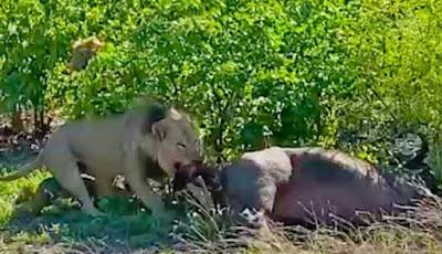 Singa jantan memakan anak kerbau yang belum lahir