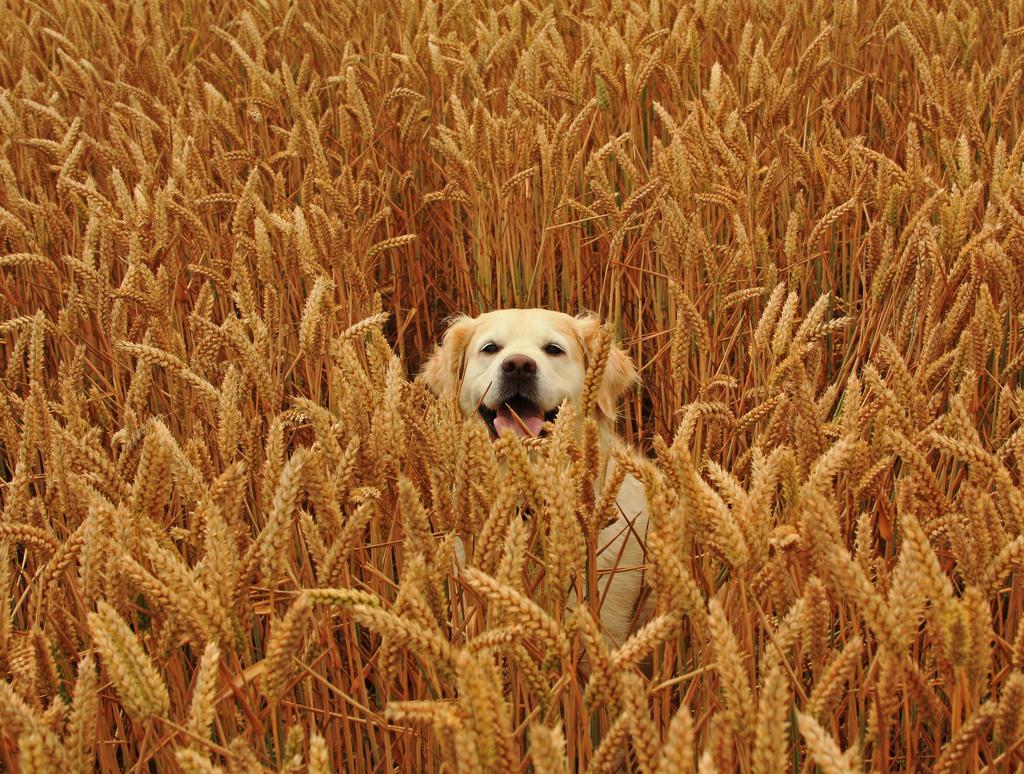 Grain Free Dog Food Myths