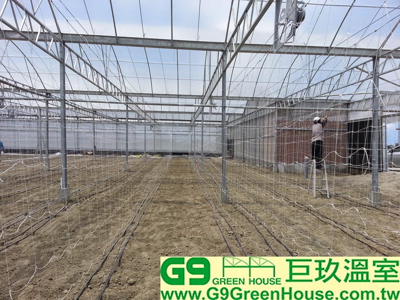 52.巨玖農場施工人員開始固定玉女小番茄8尺爬藤網施工外觀