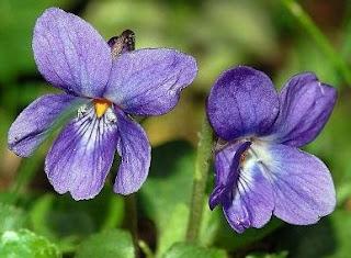 18 Khasiat Bunga Violet Untuk Kesehatan