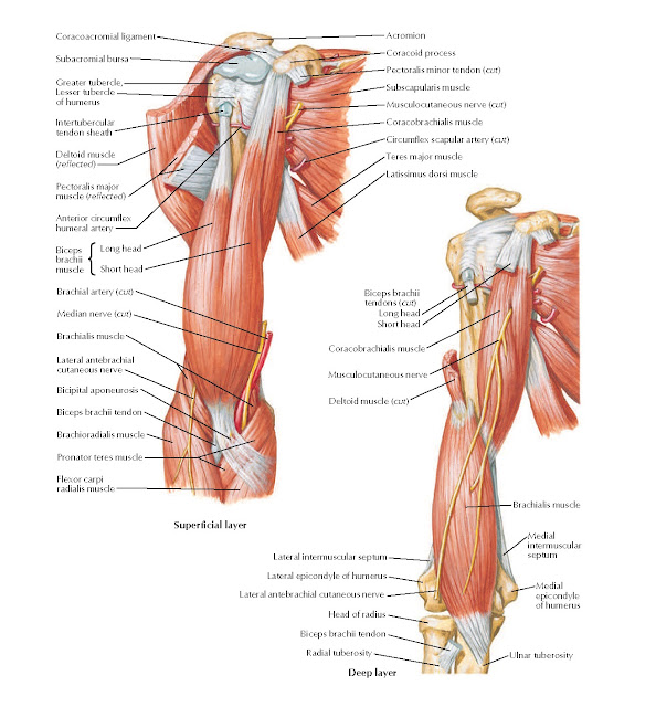 Muscles of Arm: Anterior Views Anatomy