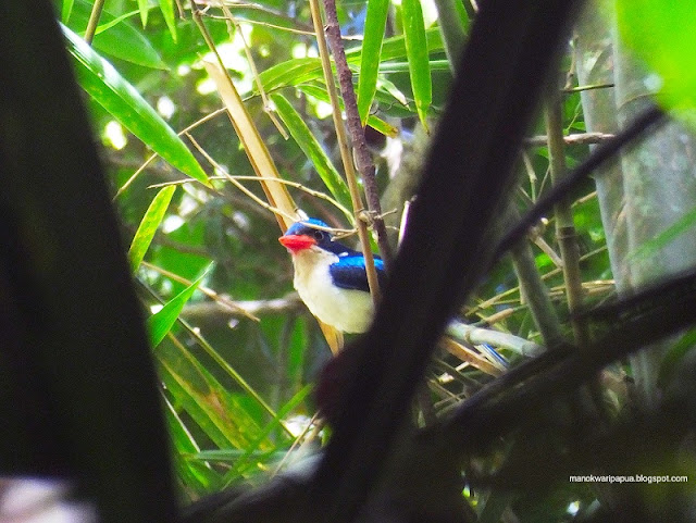 Rainforest birding tour in West Papua