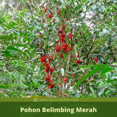 Ciri Ciri Pohon Belimbing Merah