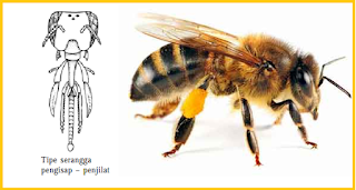 contoh mulut serangga penghisap dan penjilat adalah lebah