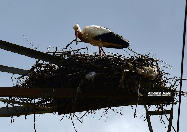 Αργολίδα: Πελαργός εγκαταστάθηκε σε φωλιά που έφτιαξε σε πυλώνα της ΔΕΗ