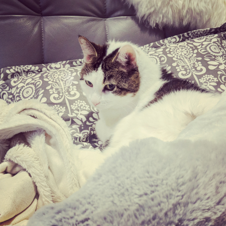 image of Olivia the White Farm Cat curled up on the couch in a pile of fuzzy blankets and pillows