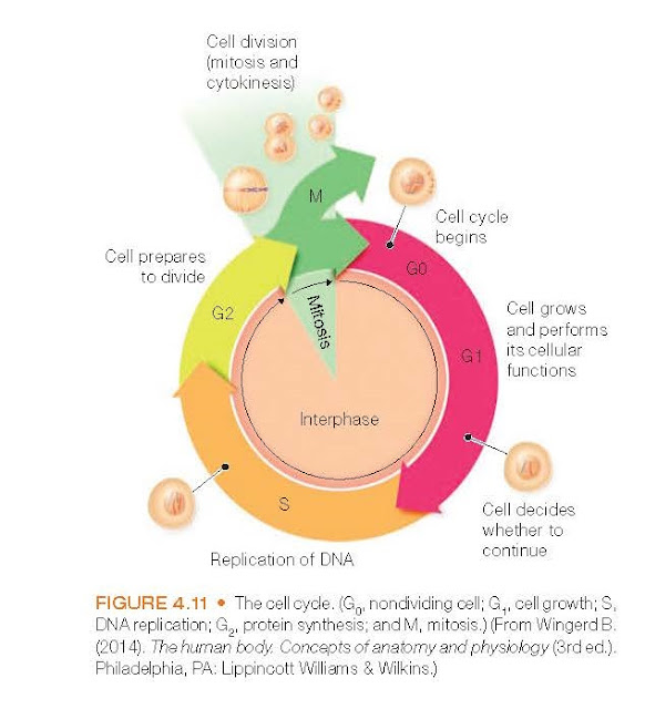 The cell cycle. (G0, nondividing cell; G1, cell growth; S, DNA replication; G2, protein synthesis; and M, mitosis.) (From Wingerd B. (2014). The human body. Concepts of anatomy and physiology (3rd ed.). Philadelphia, PA: Lippincott Williams & Wilkins.)