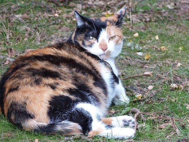 Soins particuliers d'une chatte enceinte
