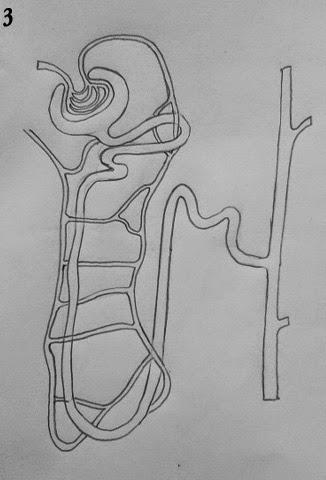 DRAW IT NEAT : How to draw Nephron