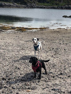 springador and dalmatian on the beach
