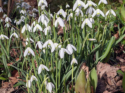 snowdrops in flower and a tulip pushing through