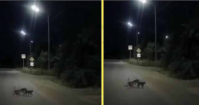 Две кошки помогли собаке с поврежденными лапами перейти дорогу!